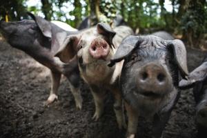 Lainston House Hotel Pigs